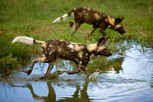 African Wild Dog, Lycaon Pictu...