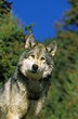 North American Grey Wolf, canis lupus occidentalis, Portrait of Adult, Canada