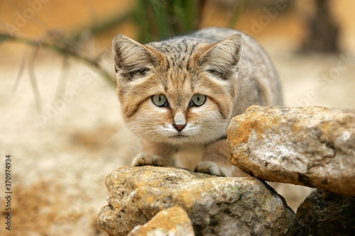 Foto Sand Cat, felis margarita, Adult among Rocks