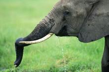 African Elephant, Loxodonta Af...