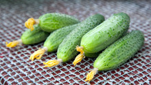 Freshly Picked Fresh Cucumbers On The Table In The Summer Garden