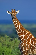 Reticulated Giraffe, Giraffa C...