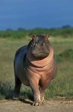 Hippopotamus, Hippopotamus Amphibius, Masai Mara Park In Kenya