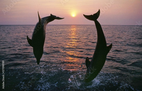 Bottlenose Dolphin, tursiops truncatus, Adults jumping at Sunset, Coast near Hon Canvas Print
