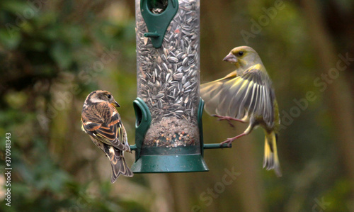 Valokuva Brambling and European green-finches on a silo bird feeder filled with sunflower