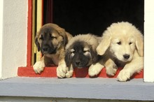 Anatolian Shepherd Dog, Pup At Window