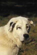 Anatolian Shepherd Dog, Portrait Of Adult