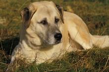 Anatolian Shepherd Dog, Adult Laying On Grass