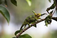 Jackson's Chameleon Or Three-horned Chameleon, Chamaeleo Jacksonii, Adult Standing On Branch, Kenya