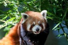 Red Panda, Ailurus Fulgens, Adult