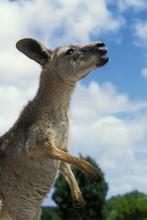 Eastern Grey Kangaroo, Macropus Giganteus, Adult Calling, Australia