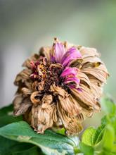 Withered Purple Elegant Zinnia Flower In The Garden