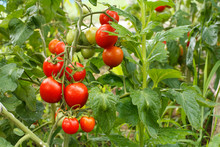 Ripe Red Tomatoes Growing On Bush In The Garden