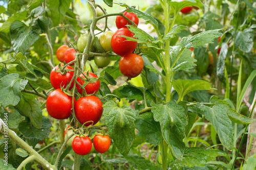 Fototapeta Ripe red tomatoes growing on bush in the garden