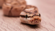 Ball Python On A Brown Wood Co...
