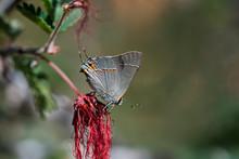 Gray Hairstreak Butterfly (Strymon Melinus) Lycaenids