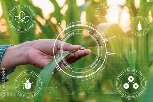 Carta da parati Smart farming with IoT,Growing corn seedling with infographics