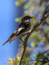 European Pied Flycatcher