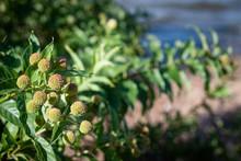 Closeup Of Common Buttonbush Plant At Shore Of Lake On Sandy Beach