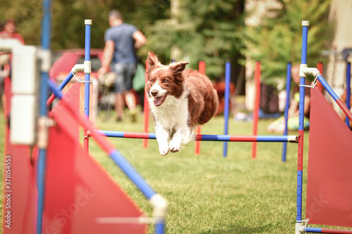 Fotografie, Obraz border collie is jumping over the hurdles