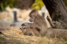 An Adolescent Hamadryas Baboon...