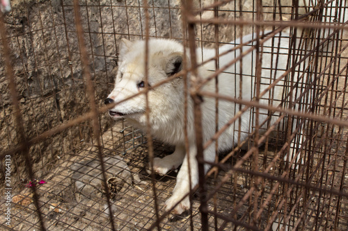 Photo Raccoon dog in cage