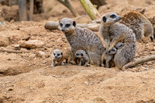 Meerkats With Their Baby Pups