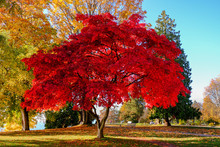Maple Tree At English Bay In Vancouver, Canada