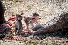Two Baby Hamadryas Baboons Pla...
