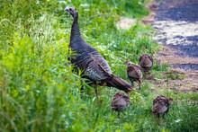 Female Wild Turkey With Chicks...