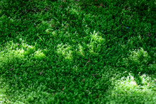 Background Of Green Moss In The Forest.