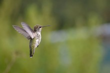 An Immature Male Anna's Hummingbird (Calypte Anna) In Flight In Front Of A Blurred Background