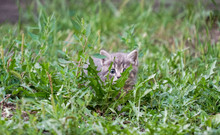 Beautiful Gray Kitten Hiding In The Grass Outdoors