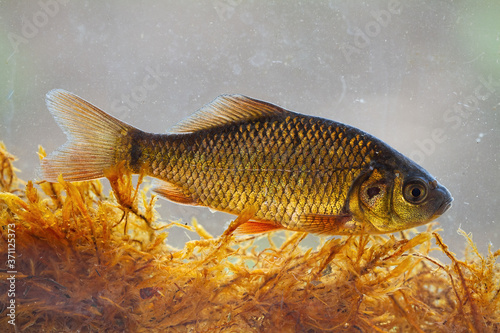 Alive young crucian carp, carassius carassius, diving in river water under surface Canvas Print
