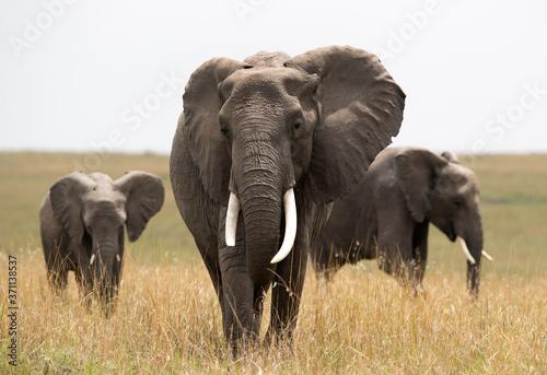 African elephants in the grassland of Masai Mara