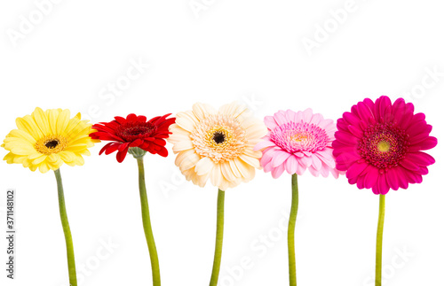 Leinwand Poster multicolored gerbera isolated