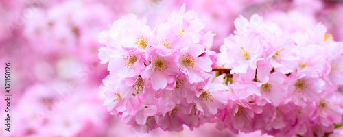 Fotografie, Obraz Panorama banner background with beautiful pink flower cherry blossom, sakura