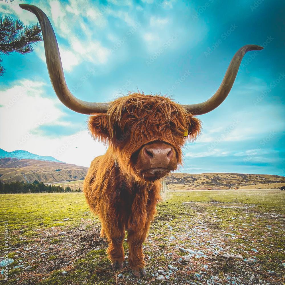 Fototapeta scottish highland cow