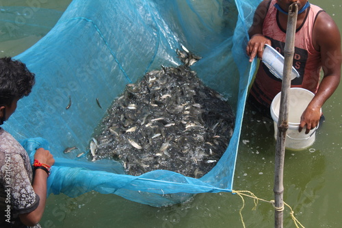 Photo fish fingerling carp seed ready for sale to pisciculture farmers for fish farmin
