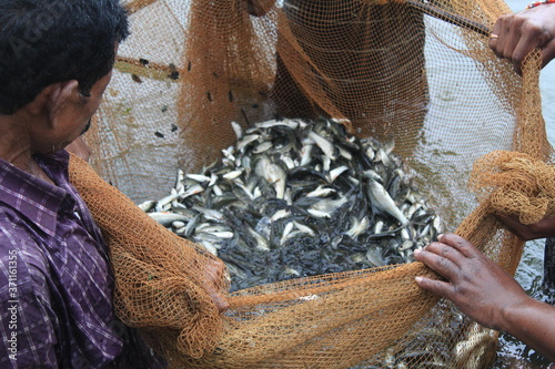 Fotografía carp fish seed ready for sale to fish farmers for fish culture in pisciculture p