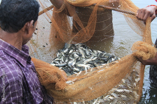Cuadros en Lienzo carp fish seed ready for sale to fish farmers for fish culture in pisciculture p