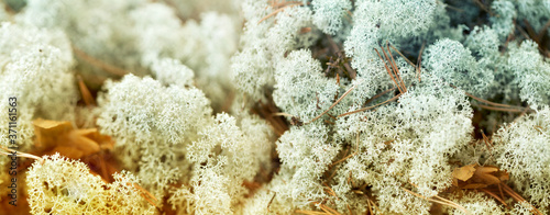 nature, environment and botany - close up of reindeer lichen moss