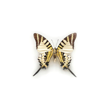 Butterfly Graphium Antiphates ...