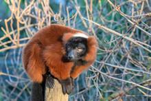 Red Ruffed Lemur At Artis Zoo Amsterdam The Netherlands 30-12-2019