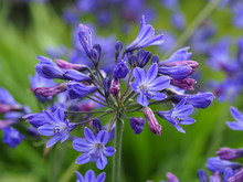 Blue Agapanthus  Lily Of The Nile Flowers