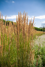 Ornamental Grass, Feather Reed Grass On A Sunny Day.