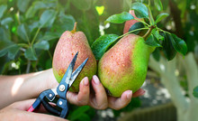 Pear Harvest In An Orchard; Wo...