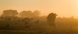 Dairy cows grazing in a grass meadow during misty sunrise morning in rural Ireland