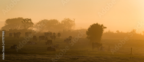 Dairy cows grazing in a grass meadow during misty sunrise morning in rural Irela Canvas Print