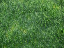 Green Ulva (Enteromorpha) Intestinalis Cover On The Concrete Staircase Of The Breakwater ( Photo )